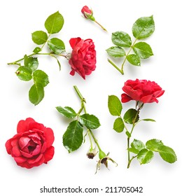 Beautiful red rose flowers collection isolated on white background. Fresh climbing roses with water drops