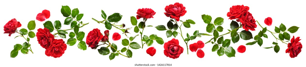 Beautiful red rose flowers composition isolated on white background. Fresh summer climbing roses with water drops arrangement banner. Floral design