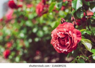 Beautiful red rose in garden
