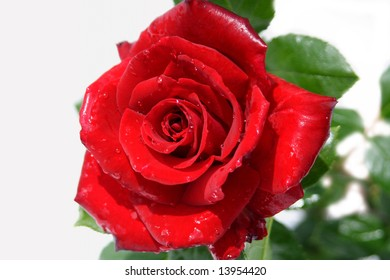 Beautiful red rose, isolated