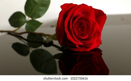 A beautiful red rose is laying on table.