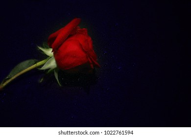 A beautiful red rose is laying on the table in water drops.