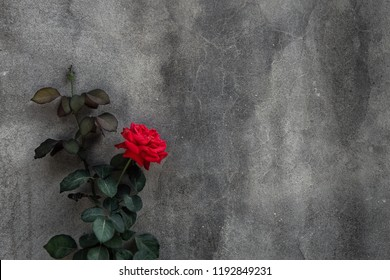 Beautiful red rose on background of gray concrete wall