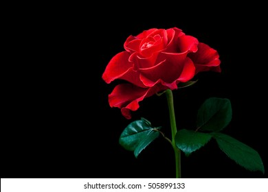 Beautiful Red Rose On Black Background Floral Wallpaper