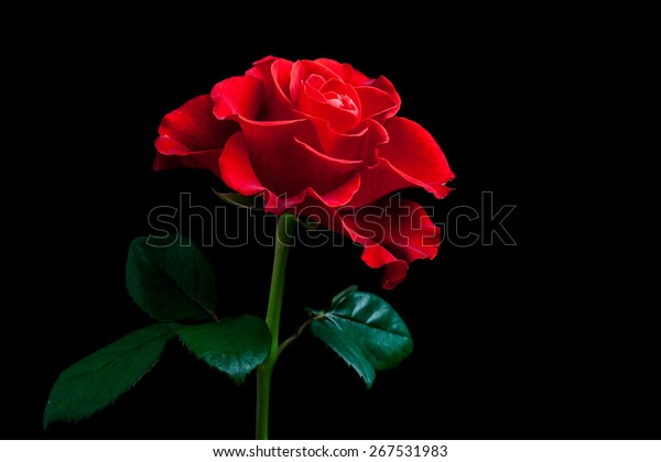 Beautiful Red Rose On Black Background Stock Photo Edit Now