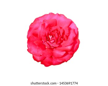 Beautiful red rose photographed close up isolated on white background