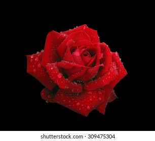 Beautiful red rose in raindrops isolated on black background. Contains clipping path