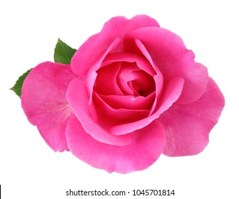 Beautiful red Rose (Rosaceae) isolated on white background, including clipping path. Germany