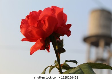 The beautiful red rose with the transition of blue sky, sunkissed in the morning.