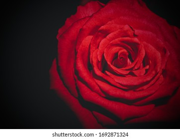 A beautiful red rose wallpaper or background design.