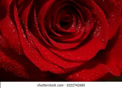 Beautiful red rose with water drops. A symbol of love.