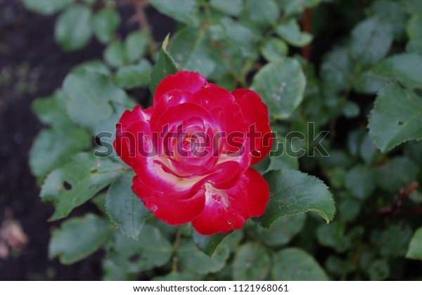 Beautiful red rose.Russia.
