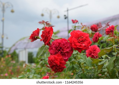 Beautiful red roses blooming in the garden.4