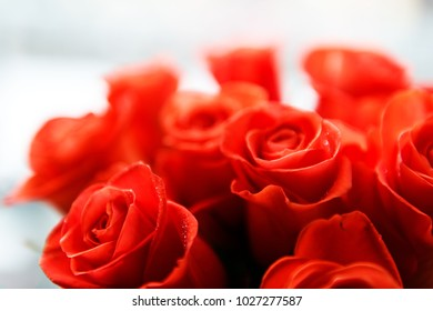 Beautiful red roses closer up