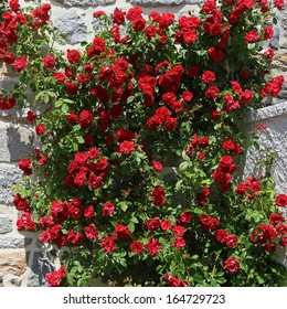 beautiful red roses in front of an old wall