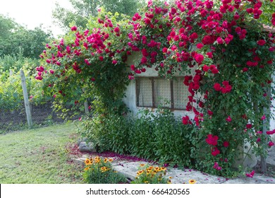Beautiful red roses on facade at window at old house in street countryside.  springtime atmospheric moment