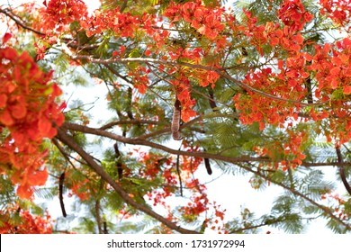 Beautiful red royal poinciana or flamboyant flower (Delonix regia), Gulmohar Flowers, Delonix regia in Bloom in Bangkok, Thailand.