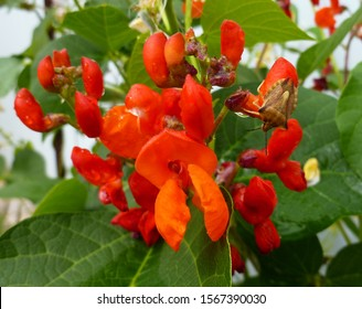 Beautiful red scarlet flowers of Runner Bean plant (Phaseolus coccineus 'Enorma') growing in the garden. Selective focus, closeup