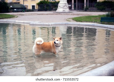 A Beautiful Red Shiba Inu Dog Standing Inside A Fountain Looking Away