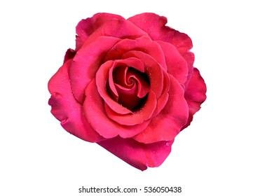 Beautiful red or shocking pink rose with droplet isolated on white background.