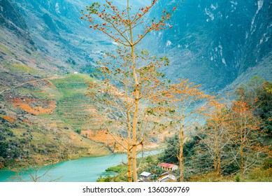 beautiful  Red Silk Cotton Tree  at Nho Que River, Ha Giang, Viet Nam