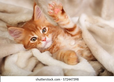 Beautiful red solid maine coon kitten covered in warm blanket and playing the paw. Soft portrait