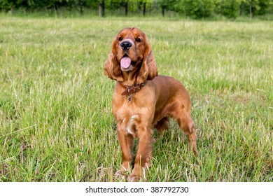 Beautiful red spaniel on the green grass in summer