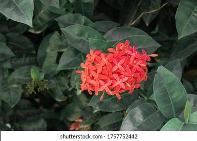 Beautiful Red spike flower. King Ixora blooming (Ixora chinensis). Rubiaceae flower.Ixora flower. Ixora coccinea flower in the garden.