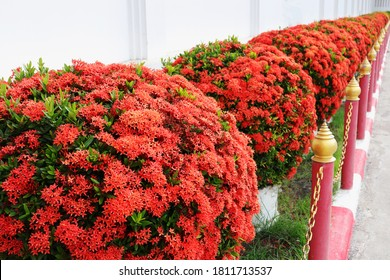 Beautiful Red spike flower. King Ixora blooming (Ixora chinensis). Red flower, Ixora coccinea. Background image of needle flower.