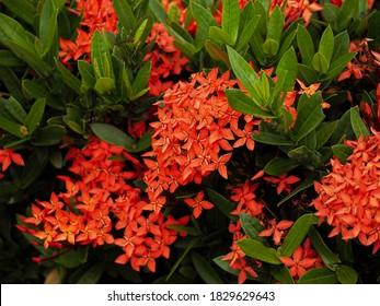 Beautiful Red spike flower. King Ixora blooming (Ixora chinensis). Red flower, Rubiaceae, Ixora coccinea, soka. Background image of needle flower.