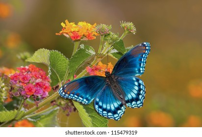 Beautiful Red Spotted Purple Admiral butterfly on colorful Lantana flower in sunshine