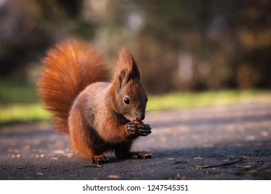 Beautiful red squirrel eating a nutlet. Autumn, park, animals