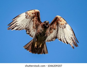 beautiful red tailed hawk screeching while flying overhead