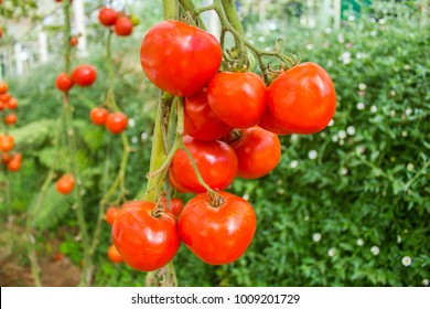 Beautiful red tomatoes on the farm for web design and decorative, Fresh and ripe tomato on the farm, Close up or macro tomatoes on tree or climber or vine