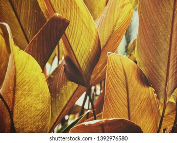 Beautiful of red tropical leaves