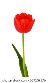 Beautiful Red Tulip Flower With Leaves Isolated On White Background