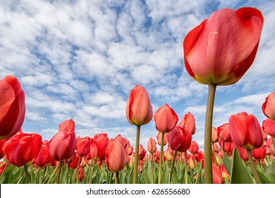 Beautiful red tulip flowers during spring under a blue sky with clouds