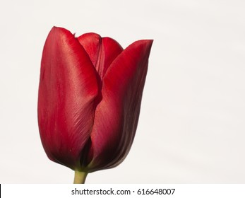 Beautiful red tulip isolated on white background. Perfectly represents spring and summer seasons, tulip flower, flowers bouquets, gardens, florists, tulips in vase, spring background, etc.