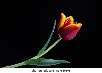beautiful red tulip on black background