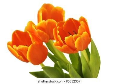 beautiful red tulips in bag