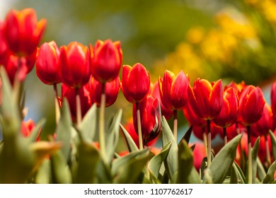 Beautiful red tulips in closeup against green background