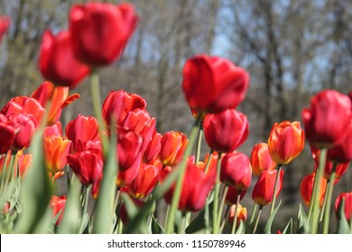 Beautiful red tulips in the Franklin Park Conservatory in Central Ohio.