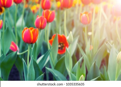 Beautiful Red tulips with green leaves on a Nature background. with copy space
