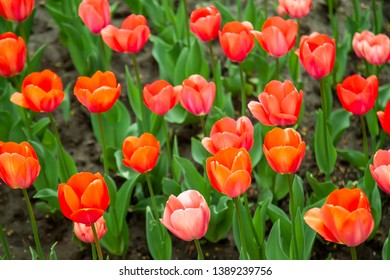 Beautiful red tulips  with green leaves in spring garden