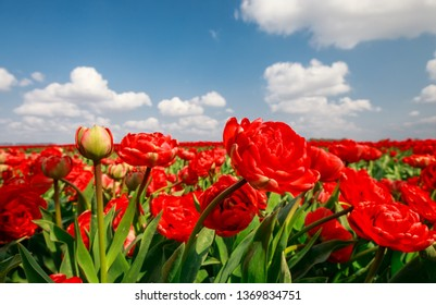 beautiful red tulips over blue sky outside