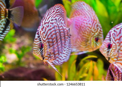 beautiful red turquoise discus fish in closeup with 2 other discus fishes in the background, a tropical cichlid fish from the amazon basin
