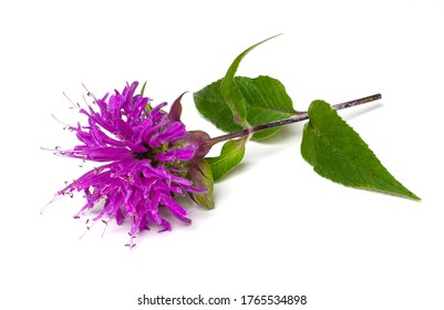 A beautiful red violet bergamot flower isolated on a white background