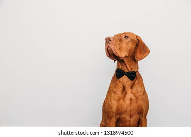Beautiful red vizsla dog in a bow tie as a gentleman