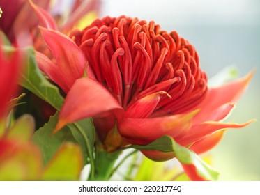 Beautiful red Waratah fllower in spring.