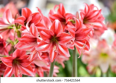 Beautiful red white hippeastrum, amaryllis flowers in the garden.A beautiful bouquet of flowers.Dutch flowers.Beautiful composition.